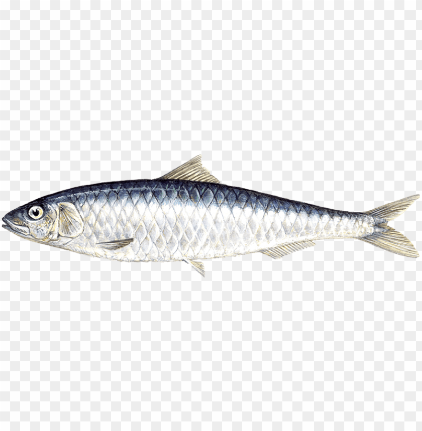 free PNG Download Sardine png, Sardine Fish PNG , Download Sardine images png images background PNG images transparent