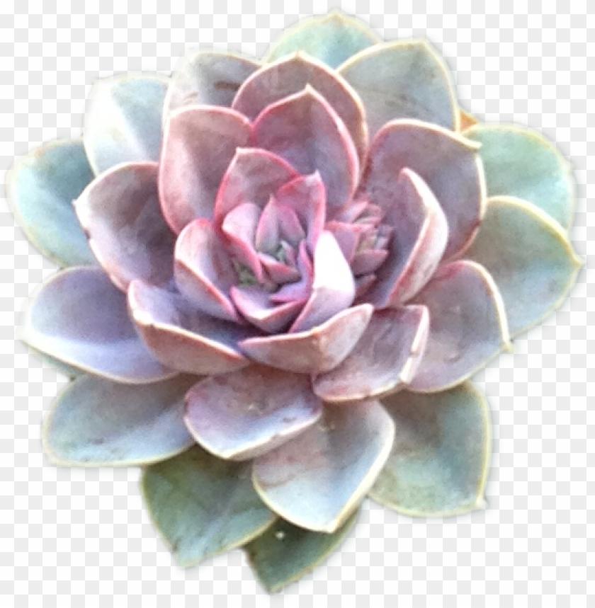 section succulents cutout2 - purple blue succulent