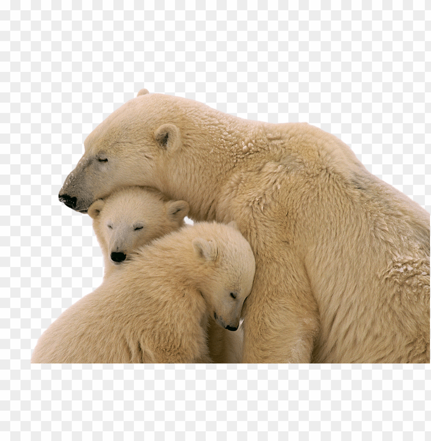 free PNG Download snow bear png images background PNG images transparent