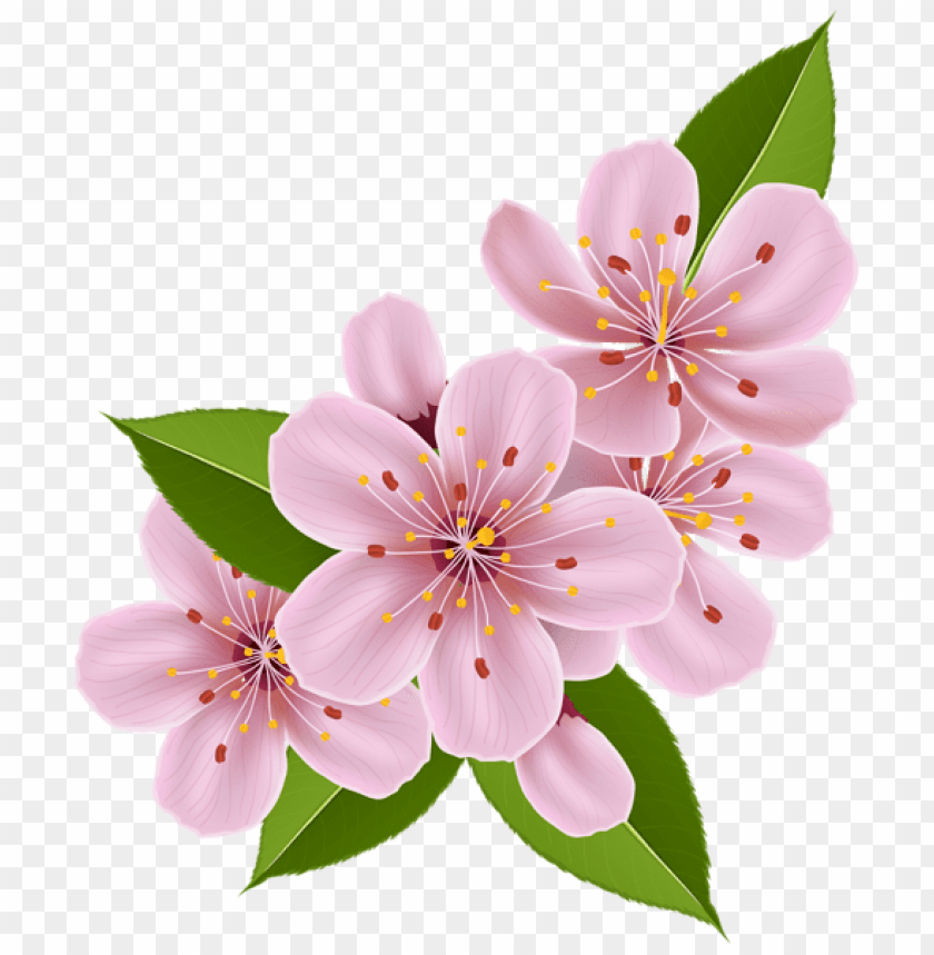 free PNG Download spring cherry blossom flowers png images background PNG images transparent