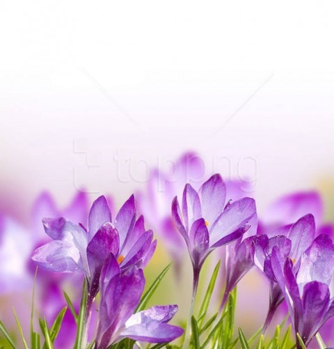 free PNG spring crocuses flowers background best stock photos PNG images transparent