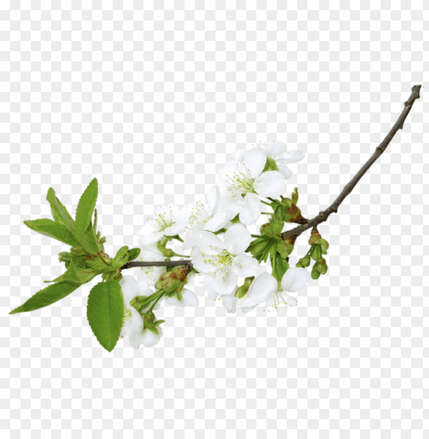 free PNG Download spring white branchpicture png images background PNG images transparent
