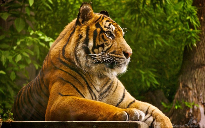 free PNG sumatran tiger wallpaper background best stock photos PNG images transparent