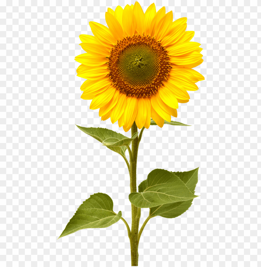 Download sunflower png images background@toppng.com