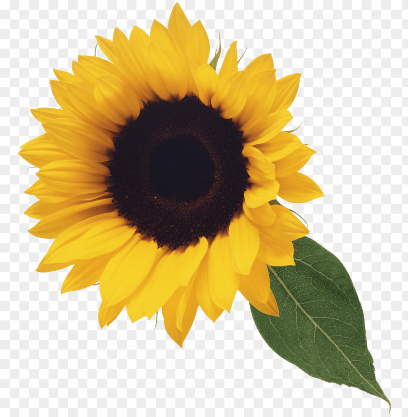 sunflower png PNG image with transparent background   TOPpng