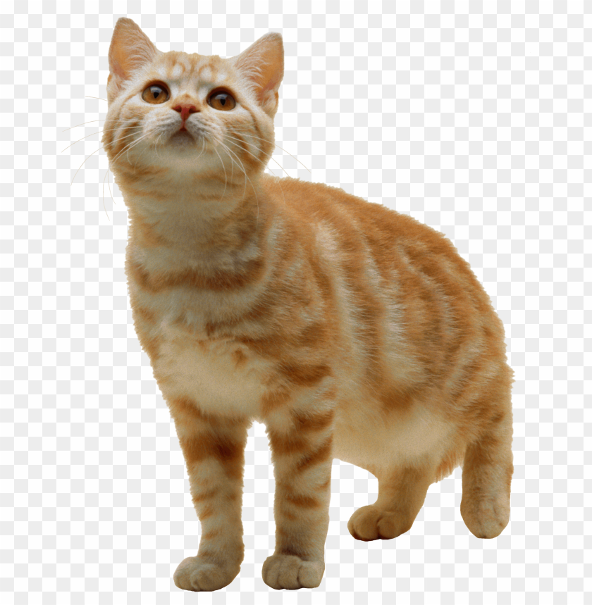 free PNG Download sweet cat kitten png png images background PNG images transparent