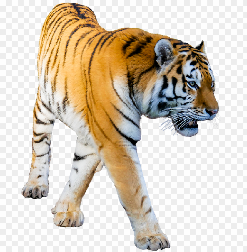 free PNG tiger prowling no background image tiger png image - transparent background tiger PNG image with transparent background PNG images transparent