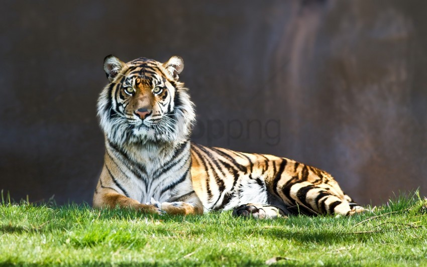 free PNG tiger staring wallpaper background best stock photos PNG images transparent