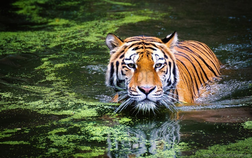 tiger, zoo wallpaper background best stock photos | TOPpng