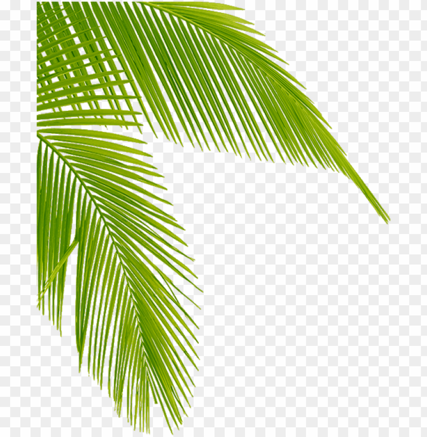 free PNG transparent palm tree leaves leaf - palm tree corner png - Free PNG Images PNG images transparent