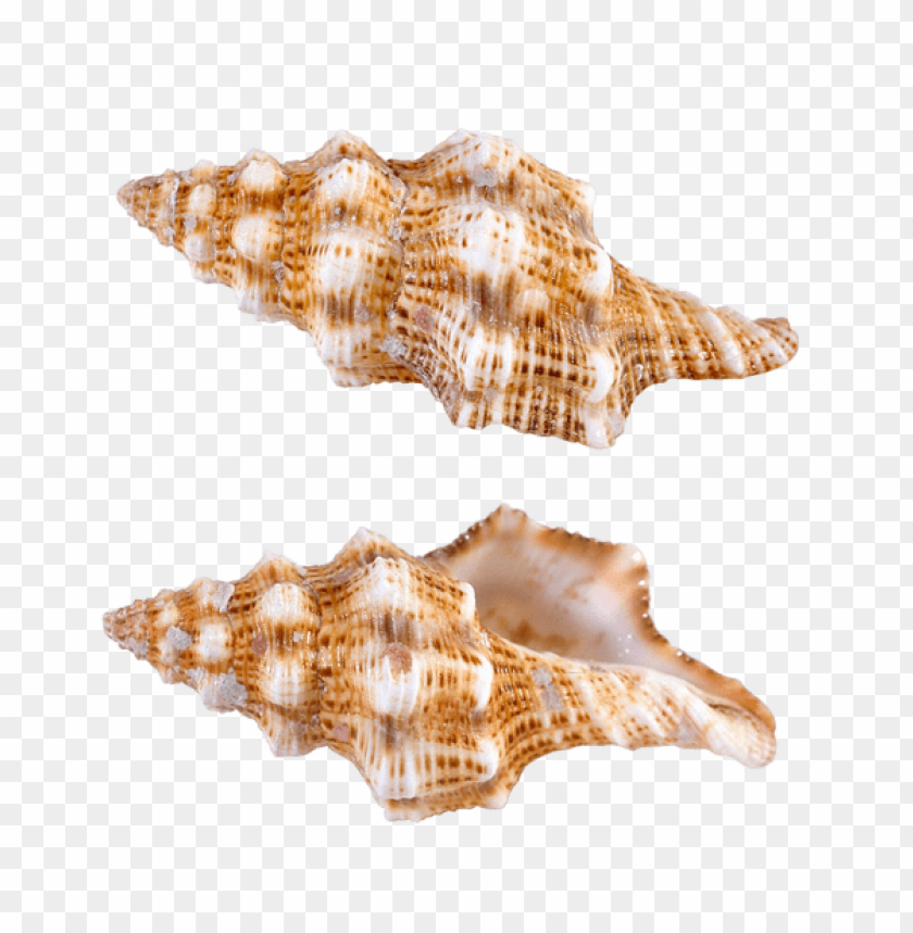 free PNG Download transparent sea snail shells clipart png photo   PNG images transparent