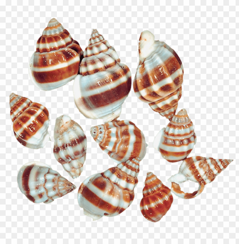 free PNG Download transparent sea snail shells clipart png photo   PNG images transparent