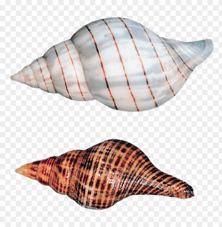 free PNG Download transparent sea snails shells clipart png photo   PNG images transparent