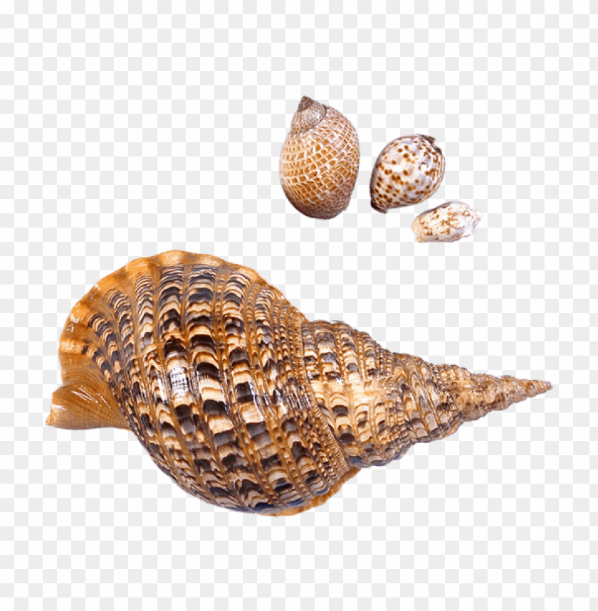free PNG Download transparent sea snails shells picture clipart png photo   PNG images transparent