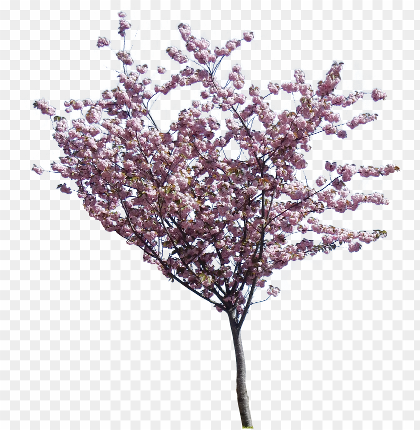 tree png hd transparent - jacaranda tree PNG image with transparent background@toppng.com
