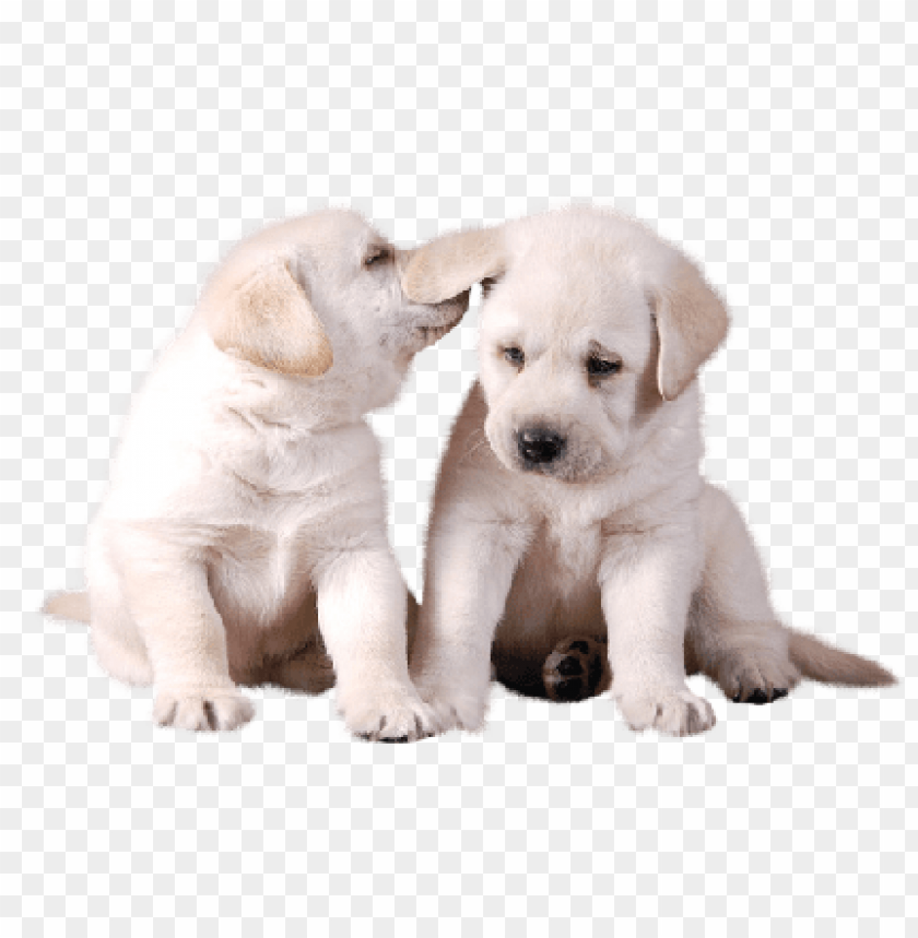 Download Two Cute White Puppies Png Images Background Toppng