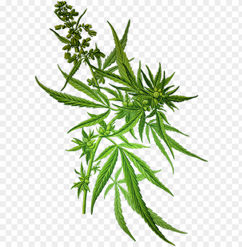 free PNG weed transparent background download - cannabis sativa PNG image with transparent background PNG images transparent