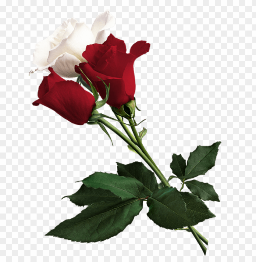 Download White And Red Roses Png Images Background Toppng