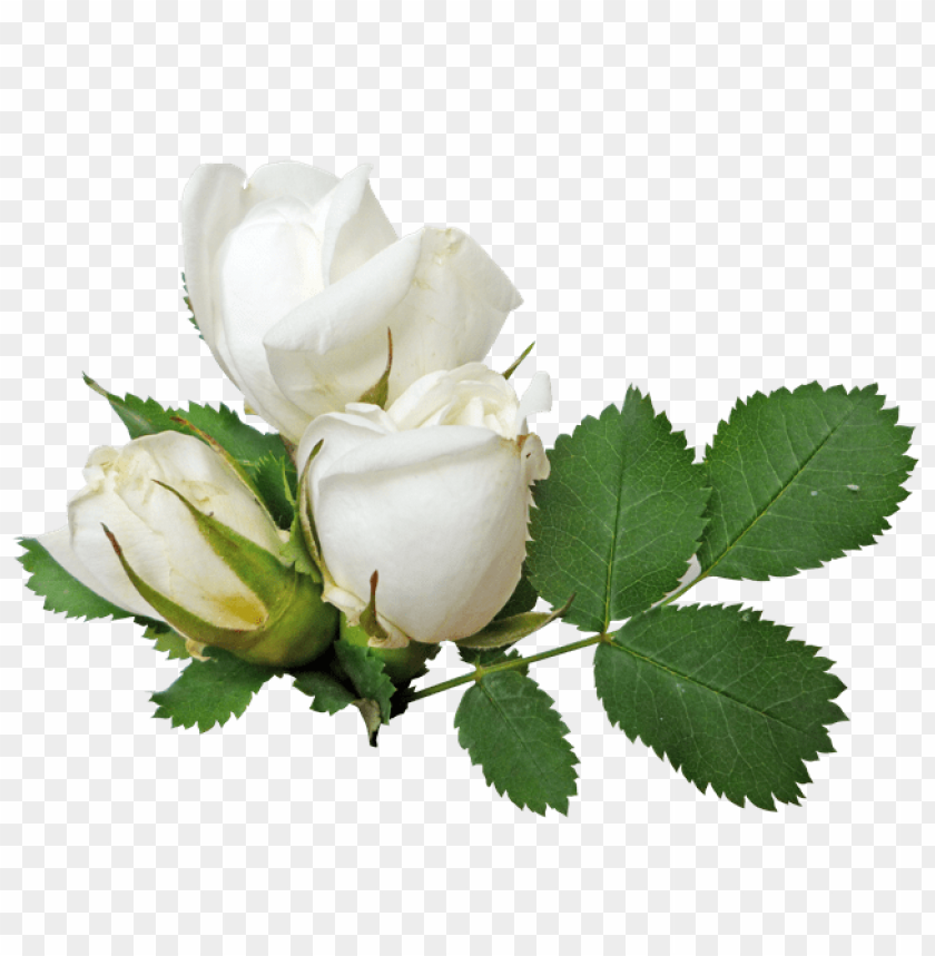 White Roses Png Free Png Images Toppng