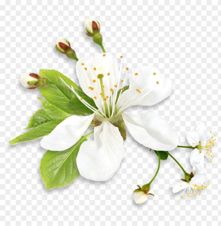 free PNG Download white spring tree flower png images background PNG images transparent