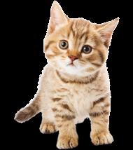adorable cat png