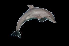atlantic bottlenose dolphin jumping