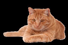 cat png pic