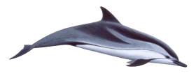cute swimming dolphin