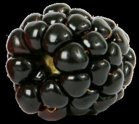 fresh single blackberry fruit