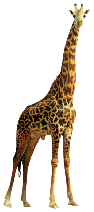 giraffe high quality png