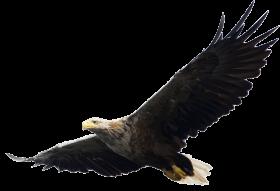majestic bald eagle flying