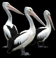 Pelicans Bird