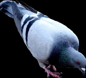 street pigeon