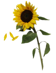 sunflowers free download png