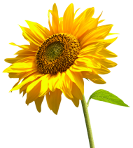 sunflowers high-quality png