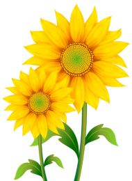 sunflowers png pic