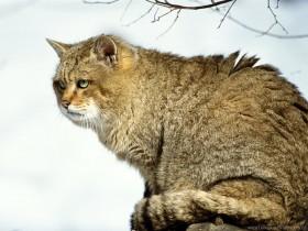 big, bushy, cat, wild wallpaper PNG images transparent