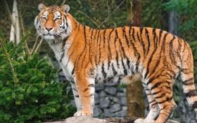 big cat, face, spotted, tiger wallpaper PNG images transparent