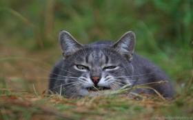 cat, grass, muzzle wallpaper PNG images transparent
