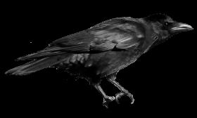 Crow PNG images transparent