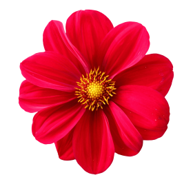 dahlia flower PNG images transparent