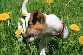 free PNG dandelions, dogs, grass, jack russell terrier puppy, joy, mood, walking wallpaper background best stock photos PNG images transparent