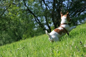 free PNG dog, grass, is pleased to be running, jack russell terrier, mood, walking wallpaper background best stock photos PNG images transparent