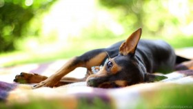 dog, lying, rest, small wallpaper PNG images transparent