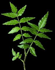 eem - himalaya neem leaves PNG images transparent