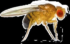 fruit fly png - que es drosophila melanogaster PNG images transparent