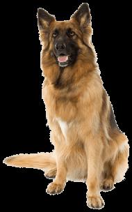 Download German Shepherd Dog Png Free Png Images Toppng