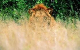 grass, lion, waiting wallpaper PNG images transparent