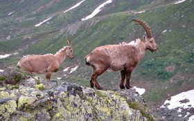 horns, mountain goat, rock wallpaper PNG images transparent