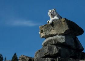 lying, predator, rock, white tiger wallpaper PNG images transparent